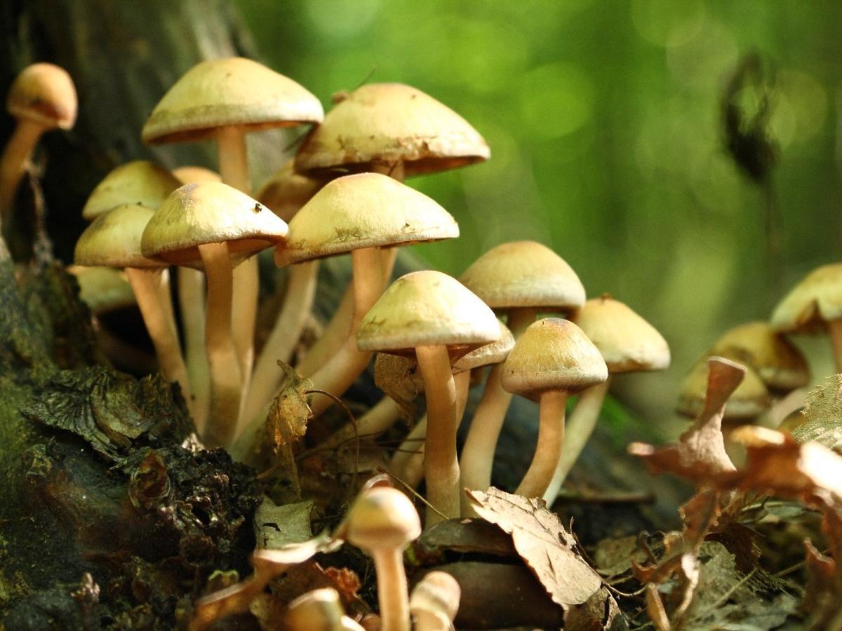 5 najbardziej trujących grzybów. Przyjrzyjcie im się dokładnie, ale trzymajcie się od nich z daleka