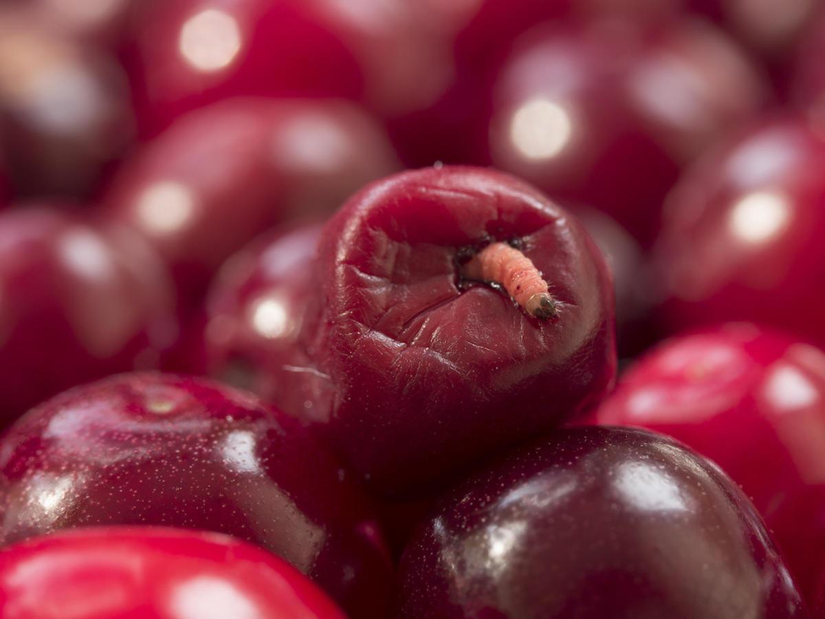 Czy jedzenie owoców z robakami może być niebezpieczne? Lepiej sprawdźcie