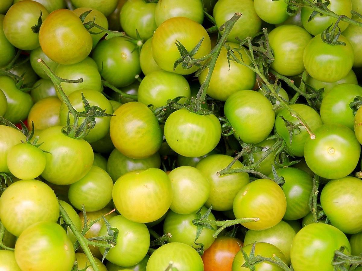 Czy jedzenie zielonych pomidorów jest bezpieczne? Tego nikt się nie spodziewał