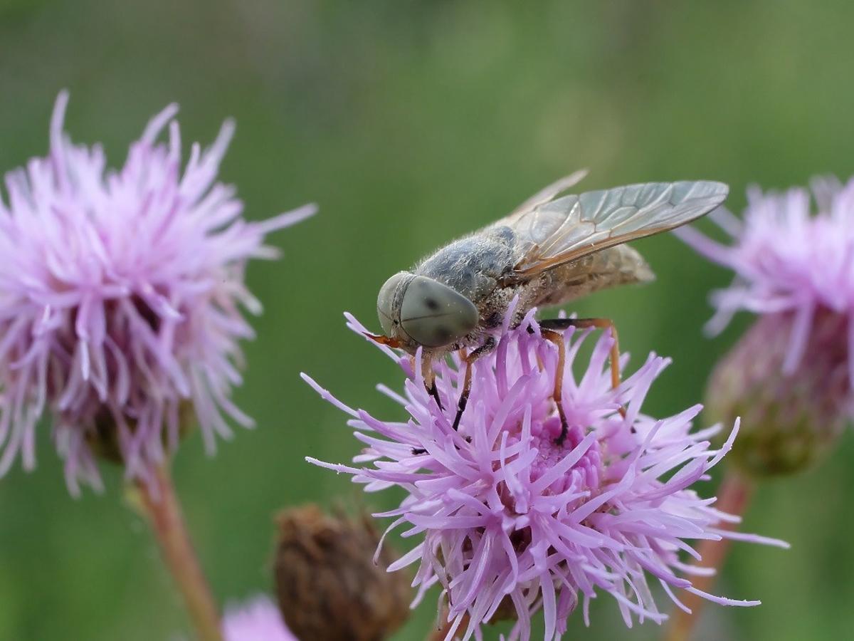 Domowe sposoby na bolesne ukąszenia gzów, czyli końskich much. Szybko przyniosą ulgę