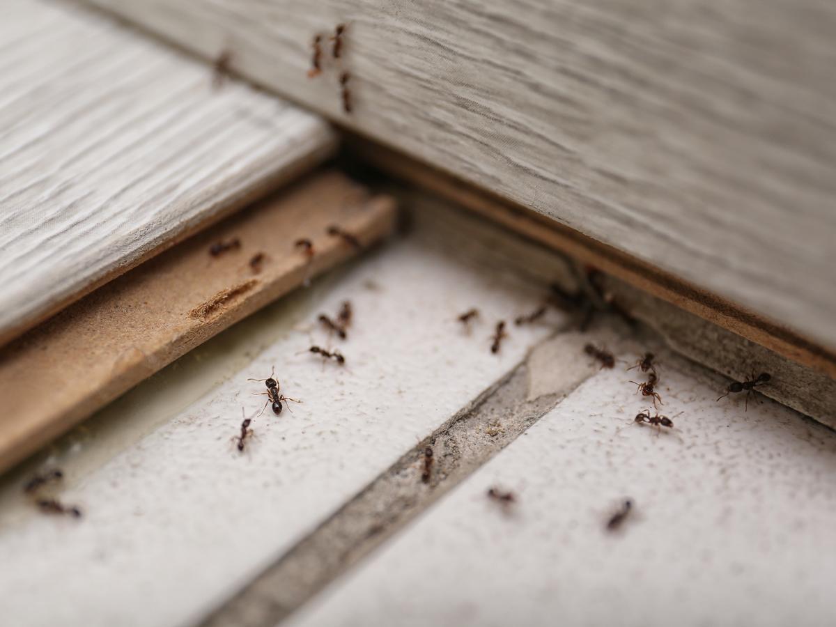 Domowe sposoby na mrówki. Jak pozbyć się mrówek z kuchni?