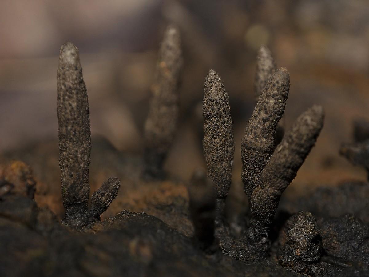 Grzyb niczym z horroru rośnie w polskich lasach. Wygląda, jak palce umarlaka