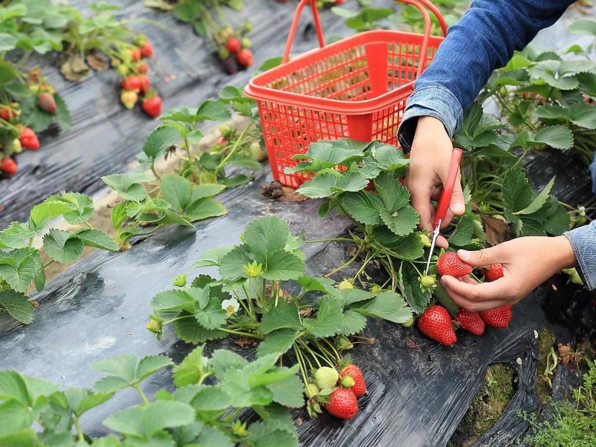 Ile można zarobić w Polsce, zbierając truskawki? Będziecie w szoku, to dużo więcej niż po studiach!