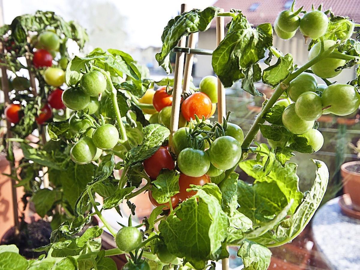 Jak uprawiać pomidory na balkonie? To bardzo proste