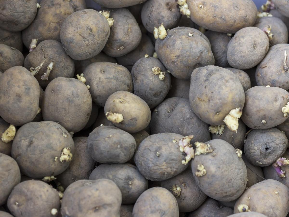 Jak zatrzymać kiełkowanie starych ziemniaków? Połóżcie obok nich ten owoc, a problem zniknie