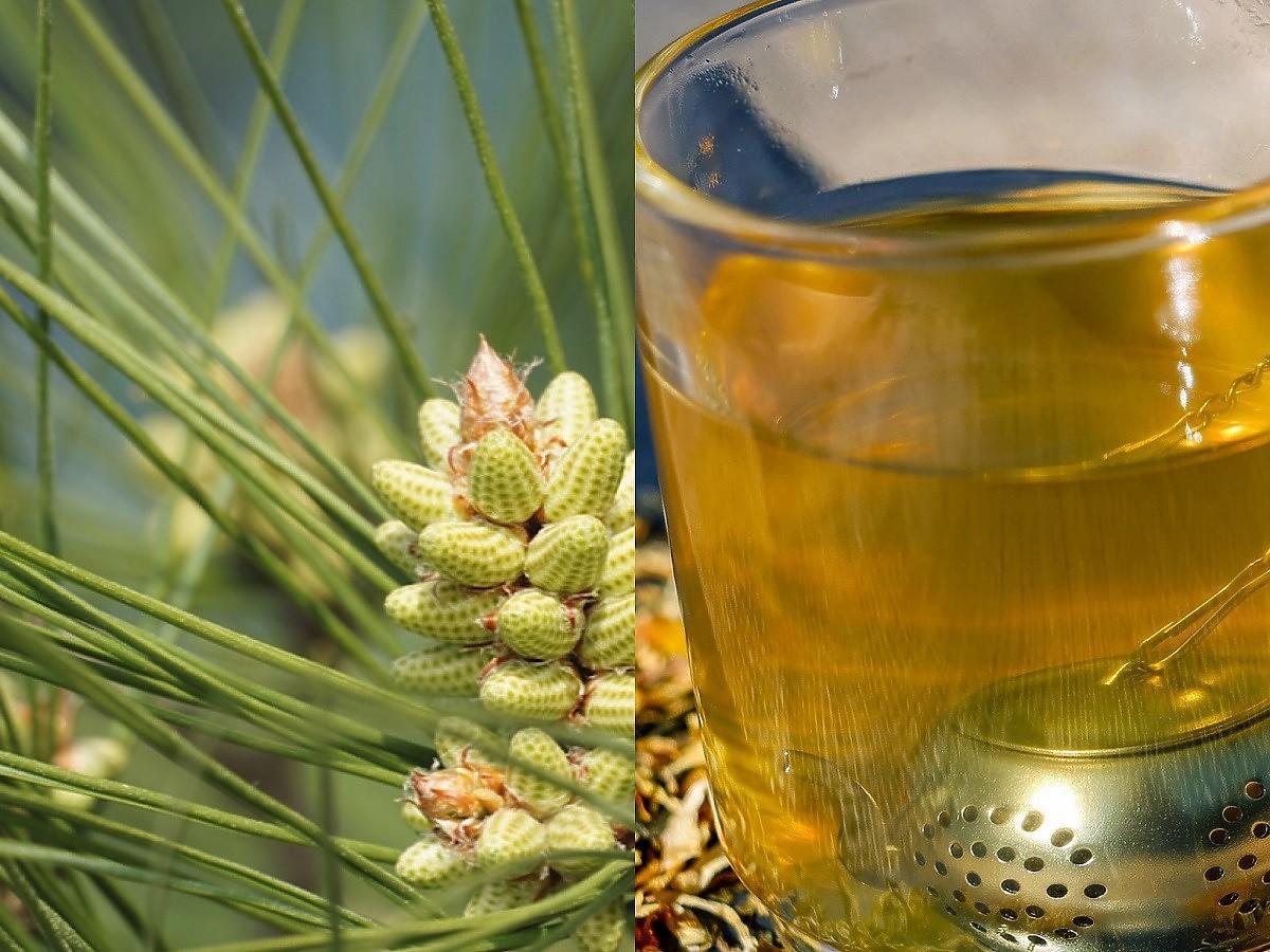 Jak zrobić herbatę z igieł sosny? Działa odtruwająco, leczy przeziębienie, dodaje energii