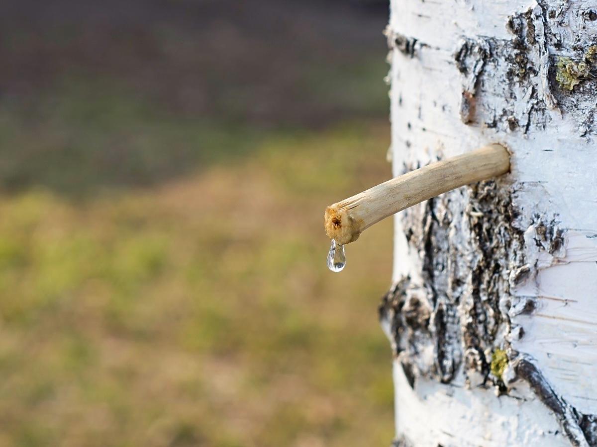 Jakie właściwości ma woda z brzozy? Pijcie 2 razy dziennie, a efekty was zachwycą
