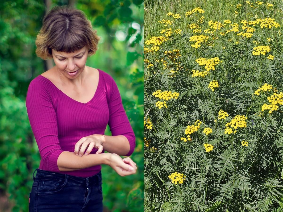 Kiedyś przyprawa, dzisiaj już chwast. Znacie to zioło? Uratuje was od nieznośnych komarów