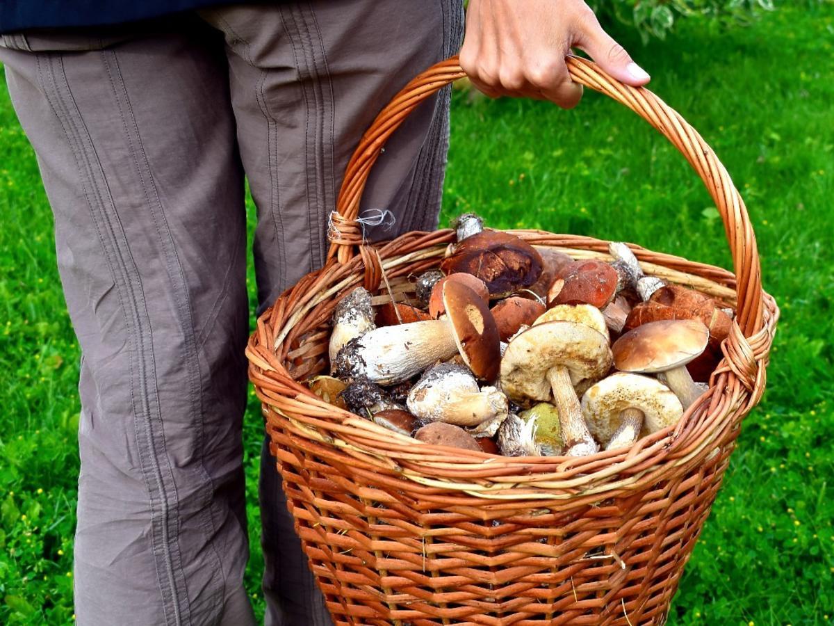 """Na Podkarpaciu lasy z grzybów """"czyszczą"""" Rumuni. Leśnicy bezradni wobec tej konkurencji dla grzybiarzy"""