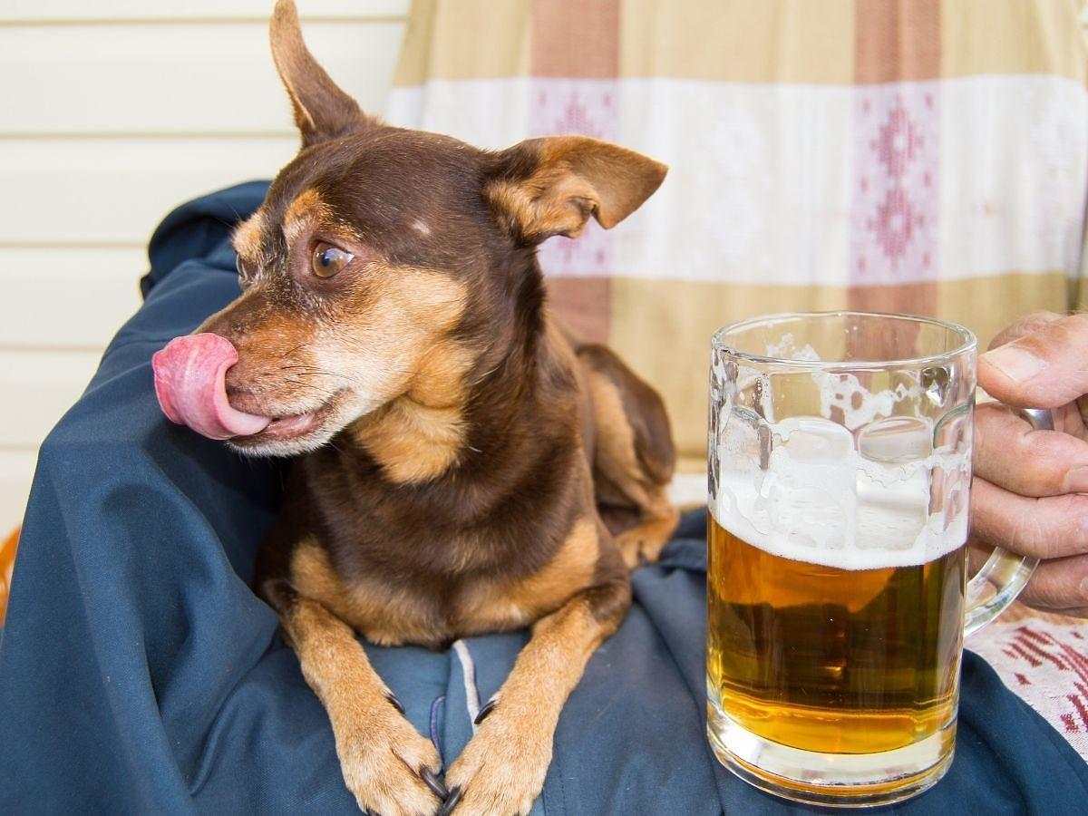 Od teraz możecie kupić piwo... Dla psów! Przesada czy genialny pomysł?