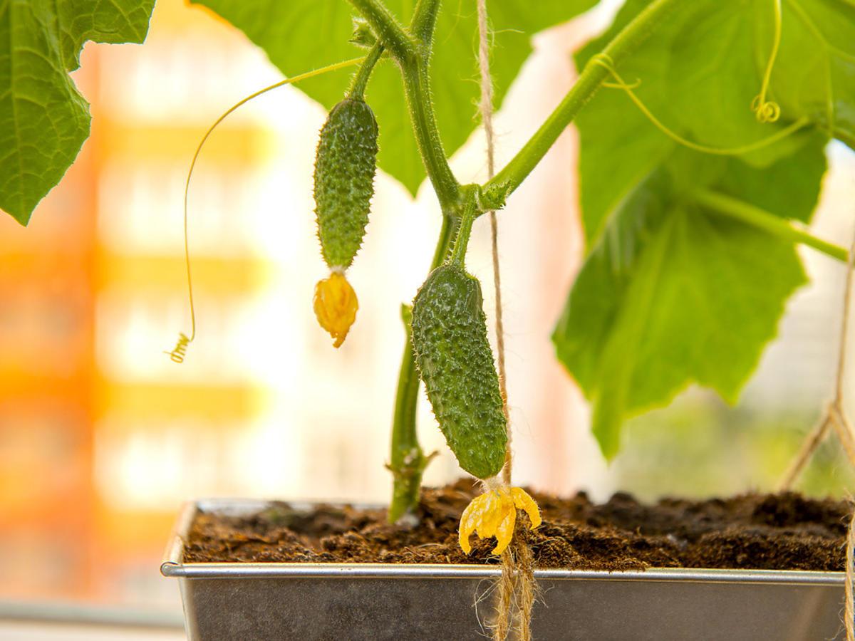 Ogórki możecie uprawiać nawet na parapecie. Wystarczy chleb i macie obfite plony