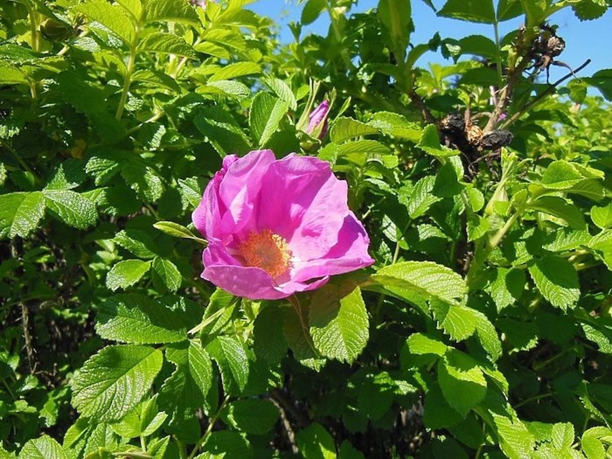 Olej z tego kwiatu chroni przed nowotworami. Odkrycie polskich uczonych zachwyciło naukowy świat