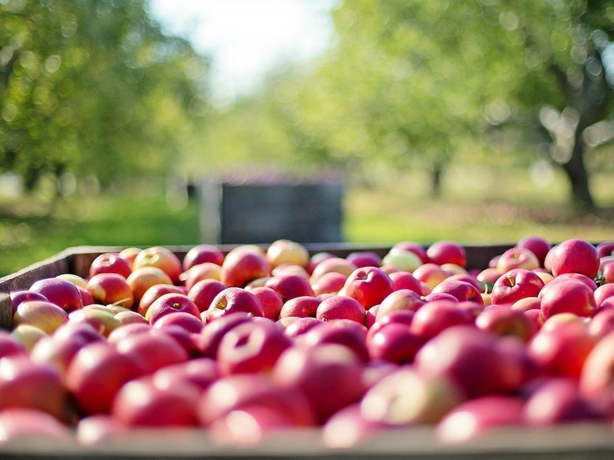 """Powstał """"Tinder dla rolników"""", czyli jak poznać drugą połowę na zbiorach owoców?"""
