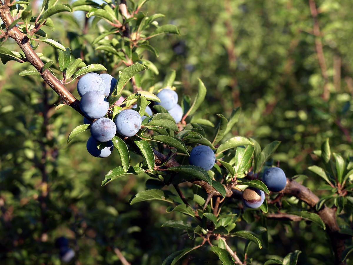 Rosną w lasach i ogrodach. Tych owoców pod żadnym pozorem nie zbierajcie!