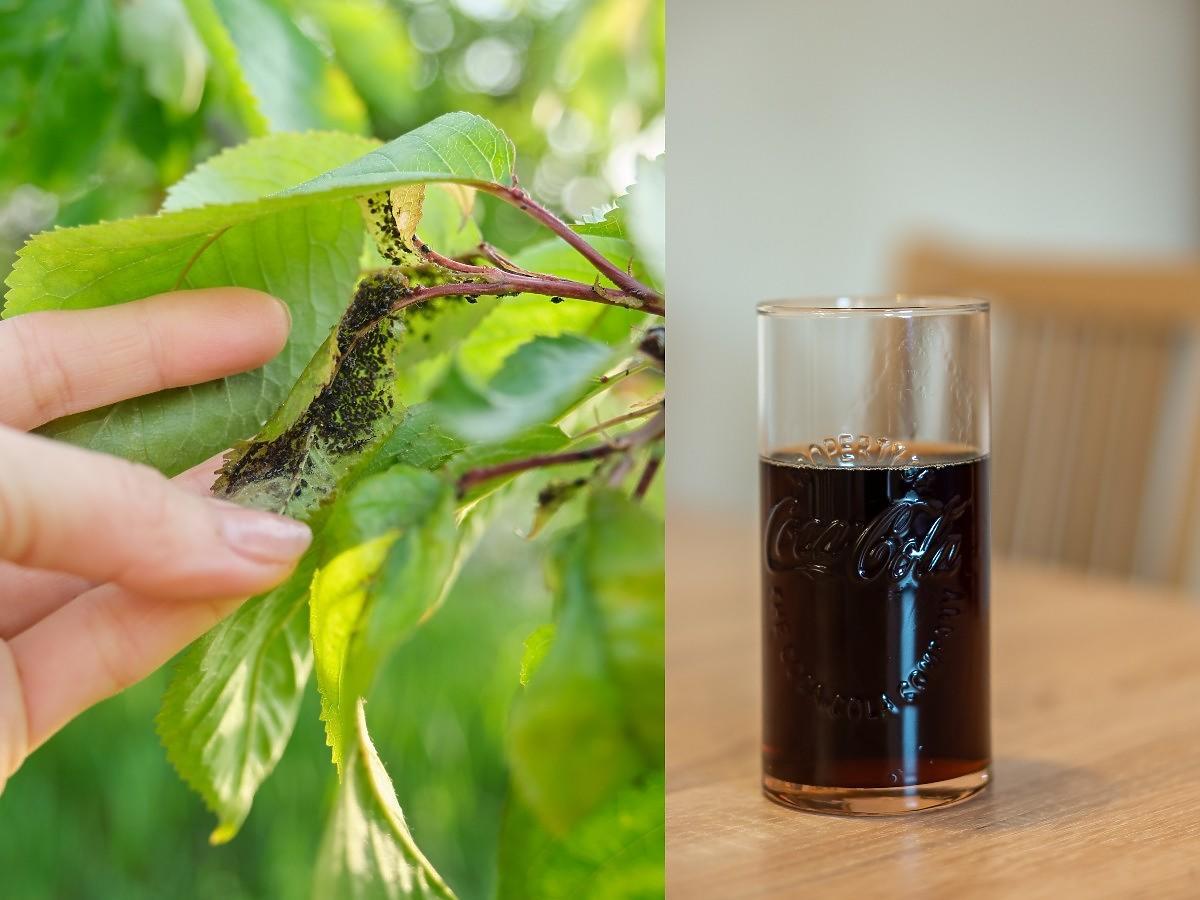 Ten popularny napój pomoże wam zwalczyć mszyce. Pamiętajcie tylko o właściwej proporcji