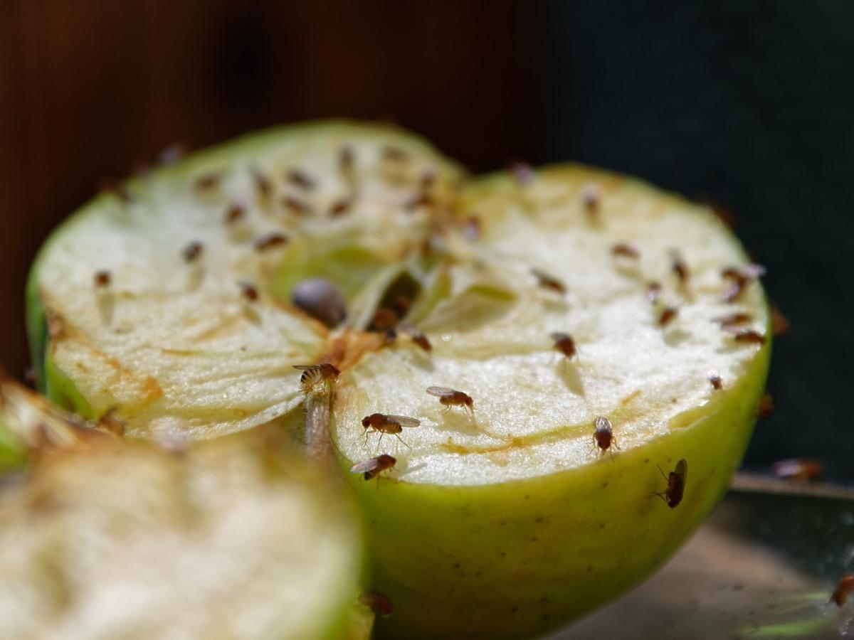Ten sposób na muszki owocówki bije rekordy popularności w sieci. Przyda wam się popularny napój