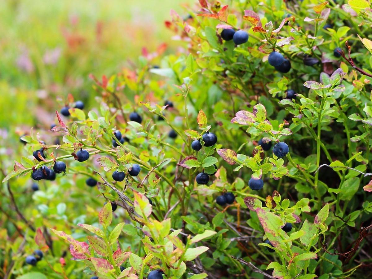 W lasach pojawiły się już pierwsze jagody. 1 błąd i mogą stać się śmiertelnie niebezpieczne