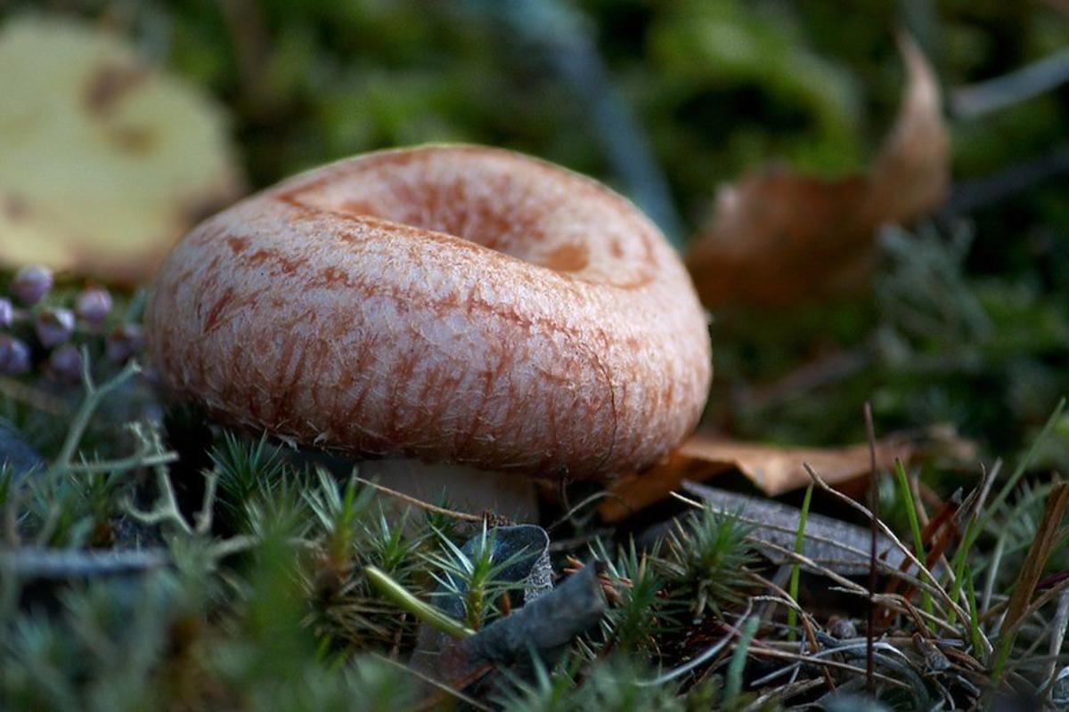 W lasach pojawiły się już pierwsze rydze. Nie pomylcie ich z tymi trującymi grzybami