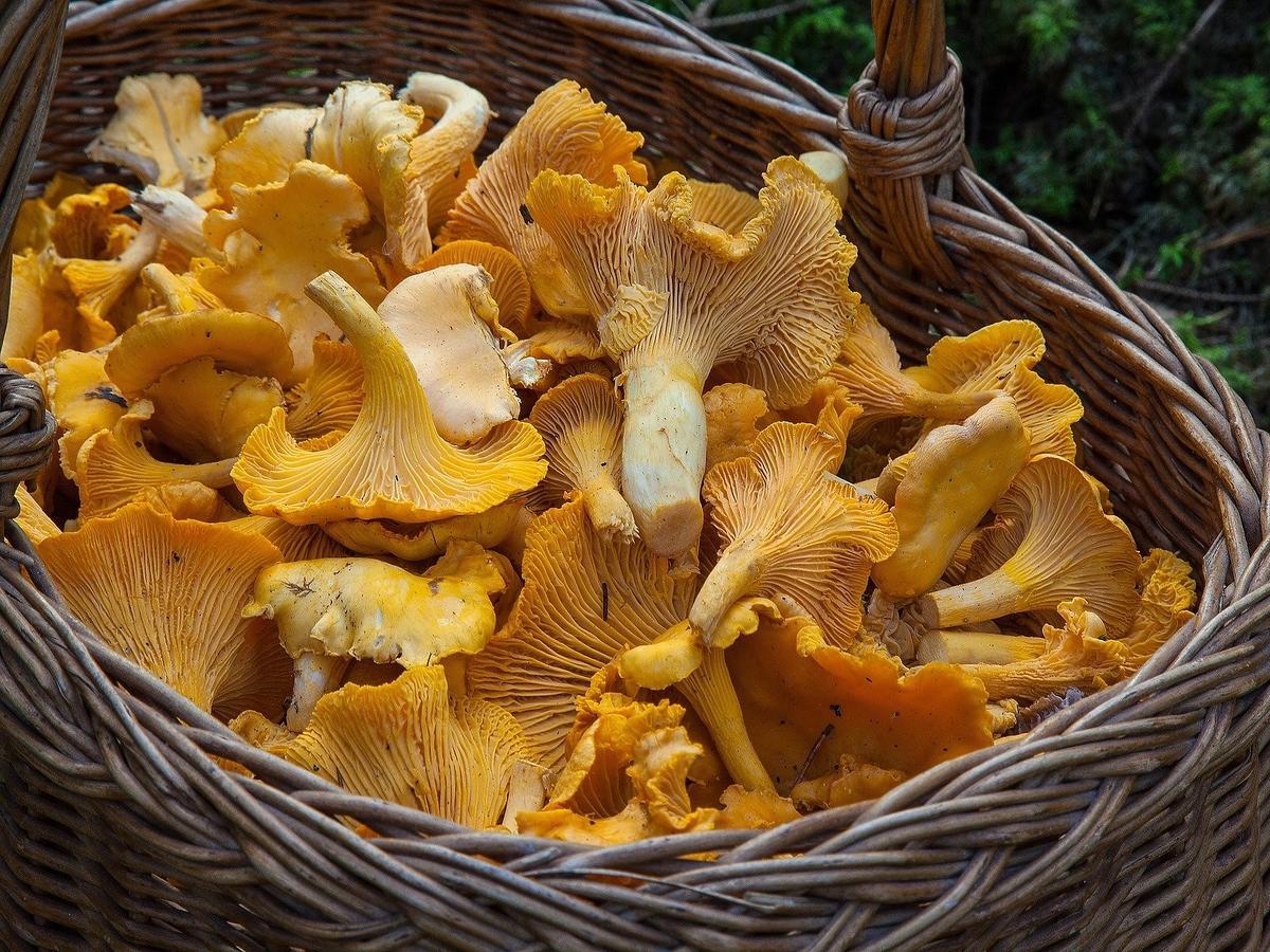 W lasach pojawiły się pierwsze kurki. Nie pomylcie ich z tym grzybem, bo możecie się zatruć!