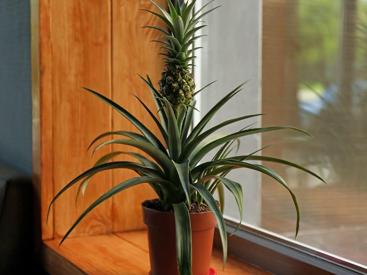 Wiemy jak wyhodować ananasa w domu! To proste, musicie tylko zwrócić uwagę na ten szczegół