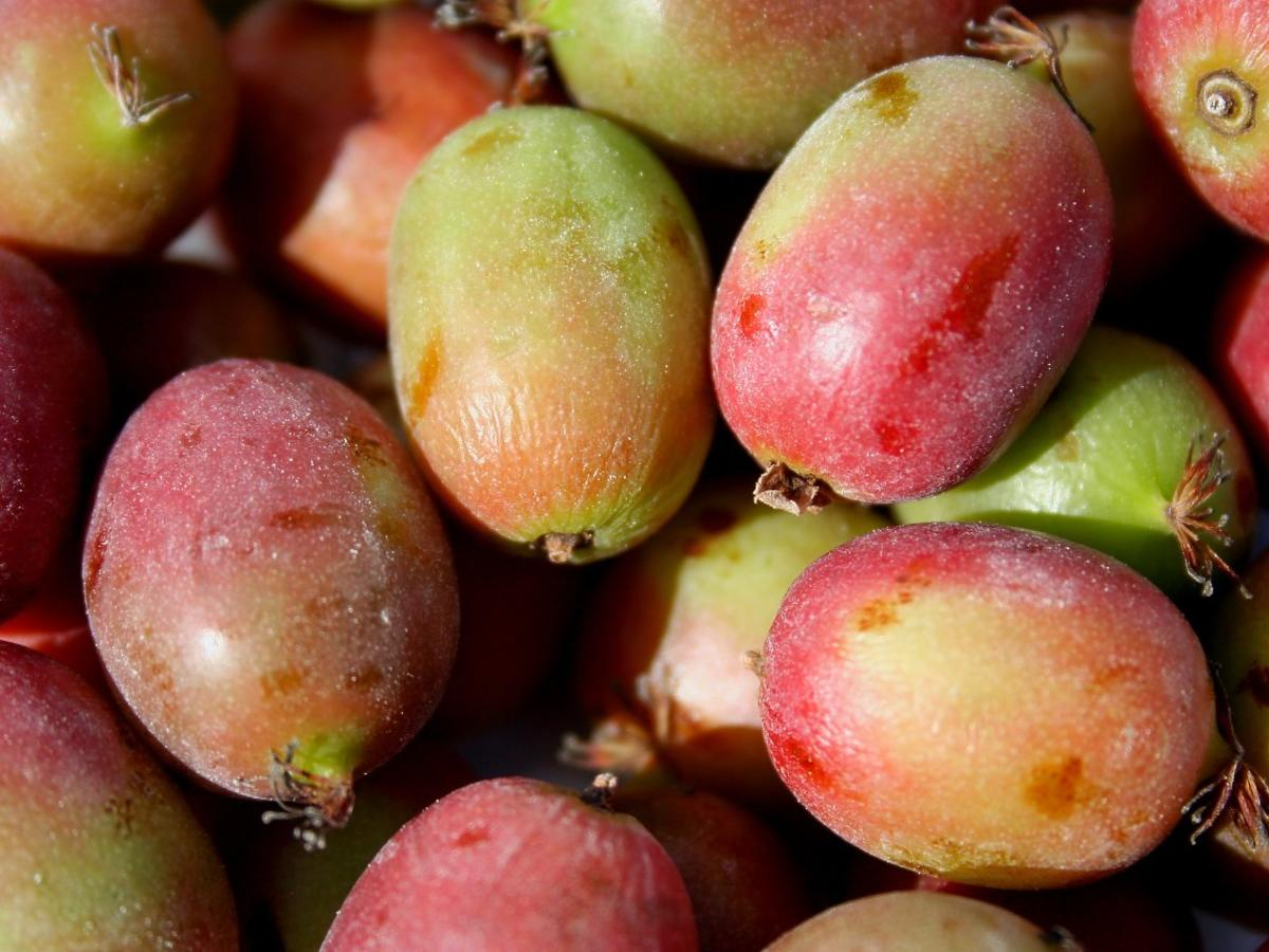 Wygląda jak agrest, smakuje jak kiwi. Zbiory nowych owoców na ciśnienie i serce – rozpoczęte