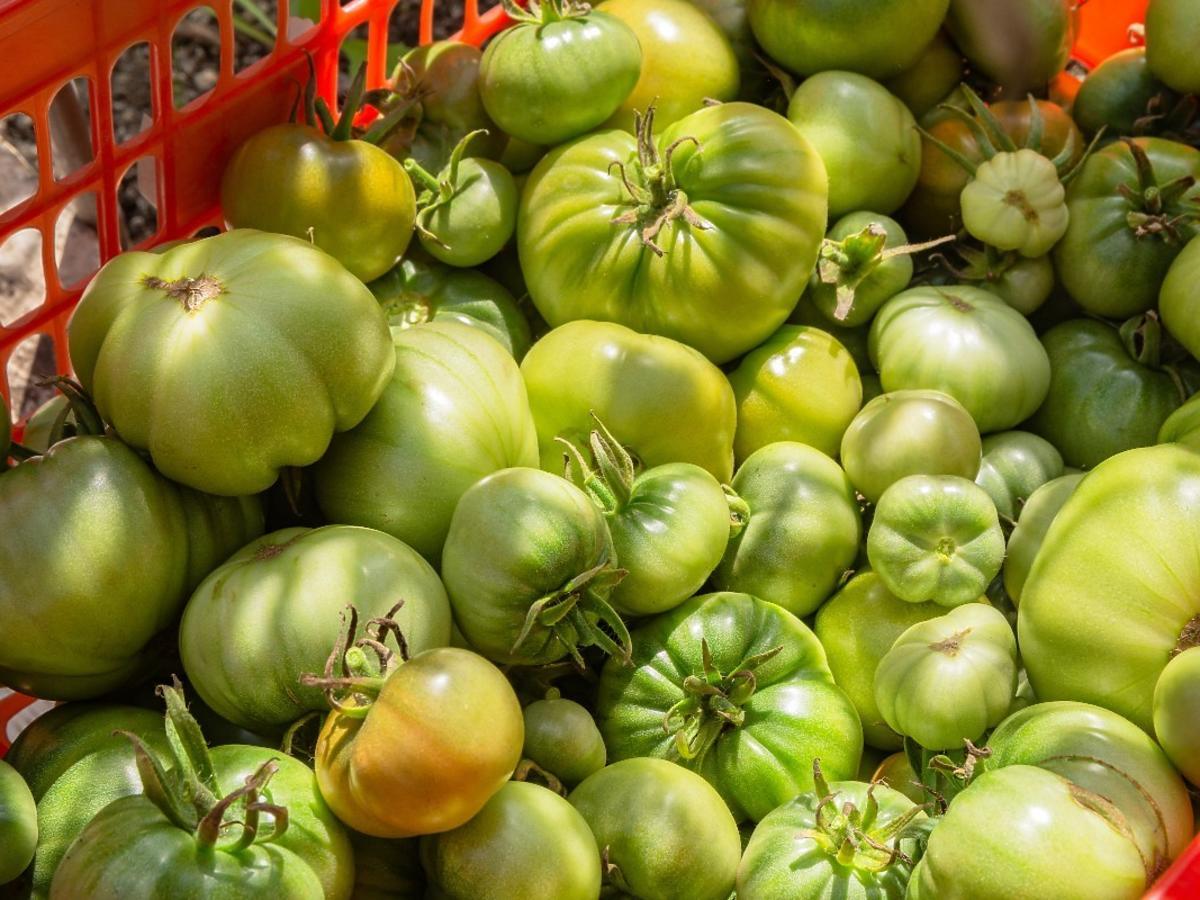 Zerwaliście zielone pomidory i chcielibyście, by szybko dojrzały w domu? Połóżcie obok nich ten owoc