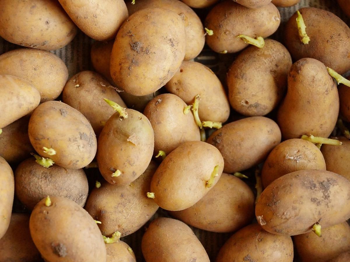 Ziemniaki z pędami